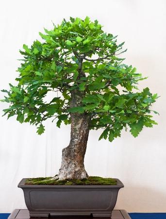 Englische Eiche in einem Bonsai-Topf Standard-Bild - 9609679