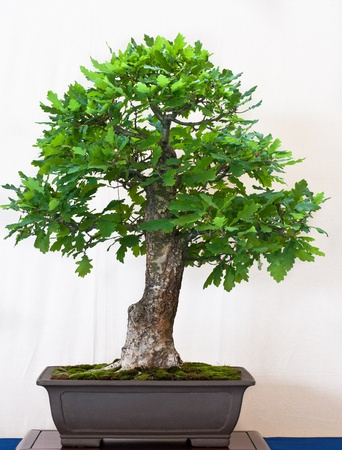 quercus robur: English oak in a bonsai pot