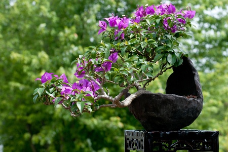 Blooming bougainvillea in a bonsai pot Stock Photo - 9964614