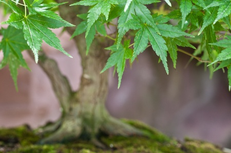 acer palmatum: Leafs of a Japanese maple tree Acer palmatum Stock Photo