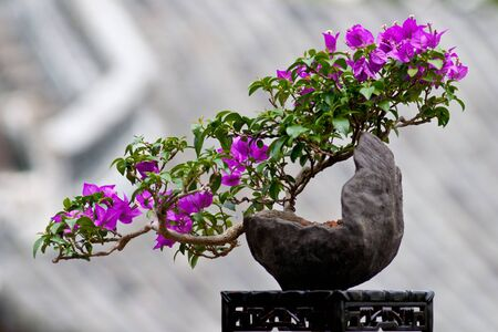 bougainvillea flowers: Blossom of a bougainvillea as bonsai tree Stock Photo