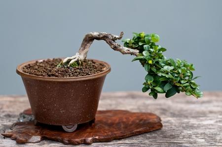 A little cotoneaster as bonsai tree
