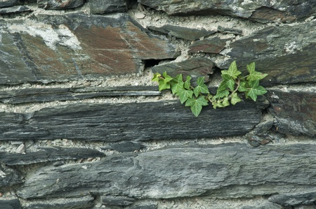 Ivy on a wall of slate photo