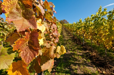 autumn colouring: Vines in a vineyard in fall