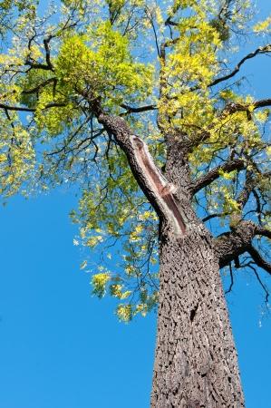 Old and tall walnut tree (Juglans nigra) in vertical format