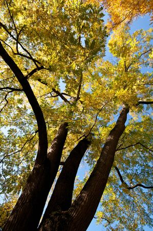 coffeetree: Tree with autumn coloured foliage in vertical format