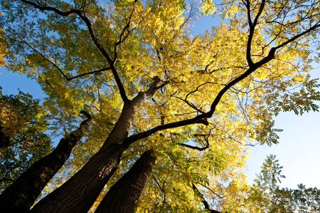 Huge tree with yellow foliage in fall Stock Photo