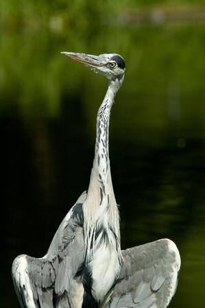 cinerea: Portrait of a heron (Ardea cinerea)