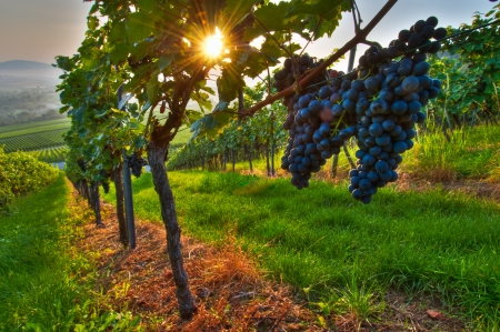 grapes on vine: Grapes in a vineyard in Germany