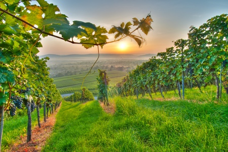 wineries: Summer in a vineyard of Germany Stock Photo