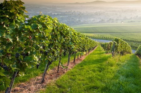 Summer morning in a vineayard of Germany Stock Photo