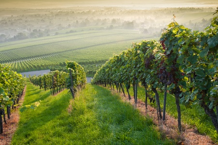 Forest an vineyard in the morninglight of the summer Stock Photo