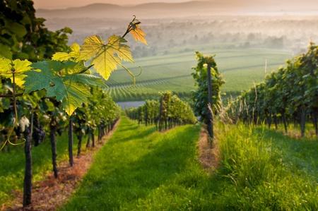 Vignes dans un vignoble en été Banque d'images