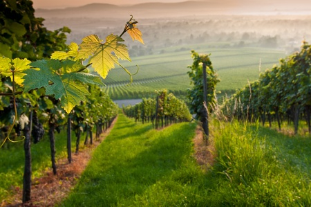 Vines in a vineyard in summer