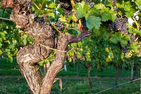 Old vines in a German vineyard