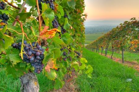 bodegas: Maduras uvas en un viñedo en Alemania
