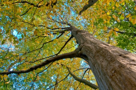 autumn colouring: An old hornbeam in a forest