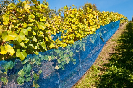 Blue protection net for birds in a vineyard Stock Photo