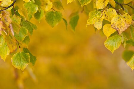 autumn colouring: Leafs of a linden in yellow autumn colouring