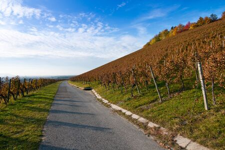 autumn colouring: Vineyard and vines in Germany in autumn