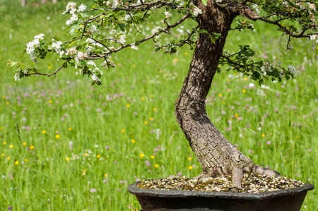 White blooming hawthorn  Crataegus monogoya  as bonsai tree in front of a meadow photo