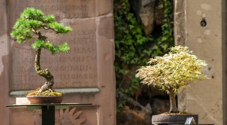 tress: Two bonsai tress on a exhibition Stock Photo
