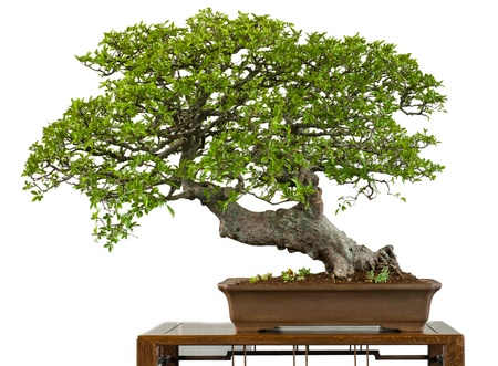 Old chinese elm as bonsai tree is white isolated