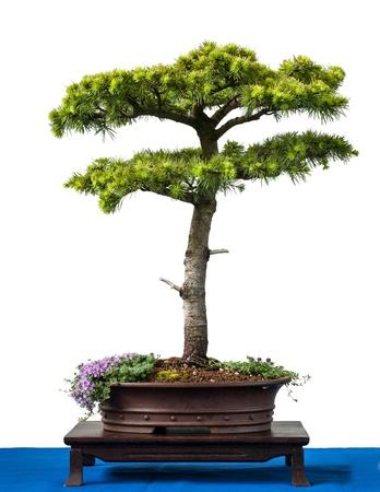 cedro: Conifer chipre cedro bonsai árbol es blanco aislado Foto de archivo