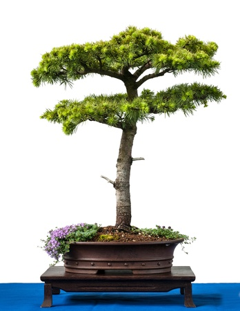 Conifer cyprus cedar as bonsai tree is white isolated photo