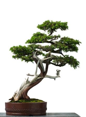 Bianco isolato vecchio tempio ginepro come bonsai Archivio Fotografico