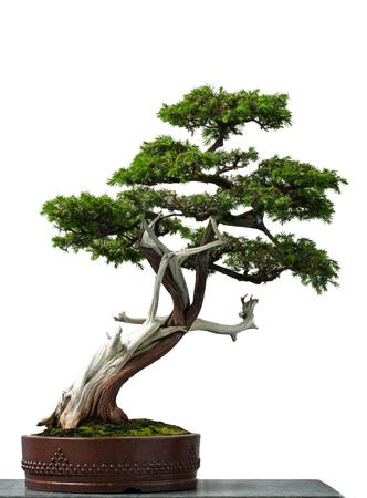 deadwood: White isolated old temple juniper as bonsai tree Stock Photo