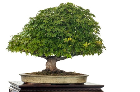 Japanese maple (Acer palmatum kiyohime) as bonsai tree is white isolated photo