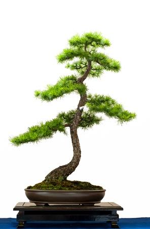 Blanc isolé du mélèze d'Europe comme bonsaï Banque d'images