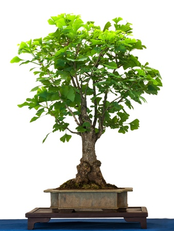 Ginkgo as bonsai tree is white isolated photo