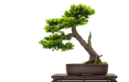 Japanese jey as bonsai tree is white isolated