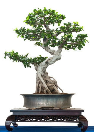 Chinese banyan as bonsai tree is white isolated photo