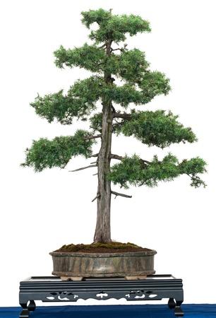盆栽の木は白として分離された共通のビャクシン (ビャクシン属コムニス)