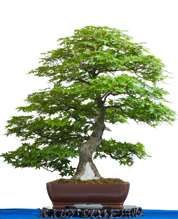 Ancient japanese maple tree as bonsai is white isolated