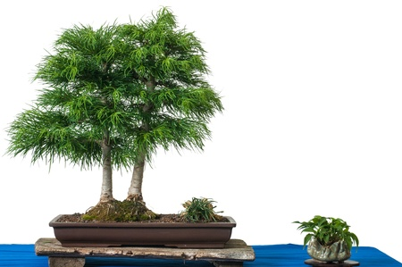 Golden larch as bonsai tree is white isolated photo