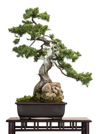 盆栽の木は白として分離された古いジュニパー (ビャクシン rigida)
