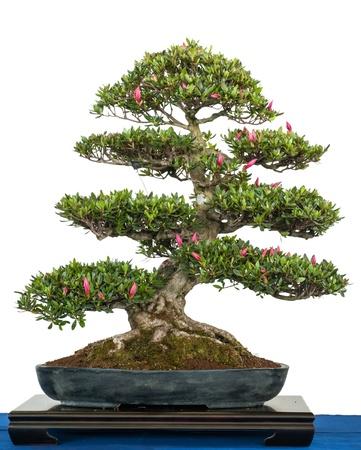 Satsuki Azalea Als Bonsai Mit Weißen Blüten Lizenzfreie Fotos ...