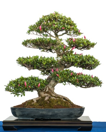 White isolated rhododendron indicum as blooming bonsai tree Stock Photo