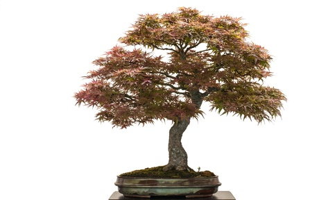 acer palmatum: Old japanese maple tree as bonsai is white isolated