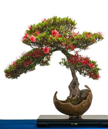 ツツジの bonsai の木の赤い花は白い分離