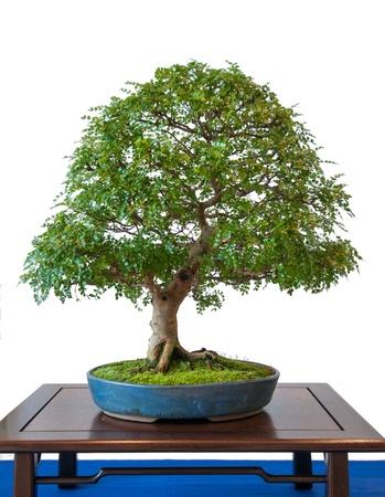 bush pepper: White isolated pepper tree (Zanthoxylum piperitum) as bonsai