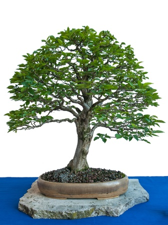 hornbeam: Old plant hornbeam (Carpinus betulus) with foliage as a bonsai tree in a pot