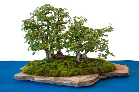 Elms (Ulmus minor) as bonsai-tree on a stone with moss