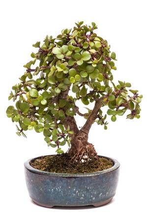 jade plant: Dwarf jade plant (Portulacaria afra) as bonsai tree Stock Photo