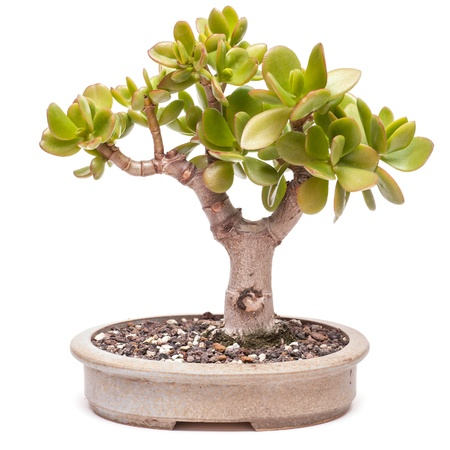 crassula ovata: Money tree (Crassula ovata) in a pot as bonsai