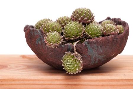Sempervivum houseleek in a bonsai pot Stock Photo